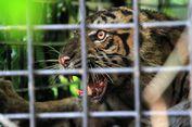 Begini Cara TM Ragunan Mengembangbiakkan Harimau Sumatera