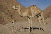Arab Saudi Larang Unta Milik Warga Qatar Masuk Wilayahnya