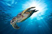 Indonesia, Rumah dari 6 Spesies Penyu Langka Dunia