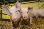Terobosan Baru, Ahli Ciptakan Babi yang Kebal Virus Mematikan