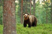 Sebulan di Sarang Beruang dan Luka Parah, Pria Ini Bertahan Hidup