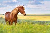 Coba Kabur dari Polisi, Seorang Buronan Babak Belur Ditendang Kuda