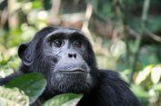 Terekam Video, Simpanse Pintar Sedang Bermain Instagram