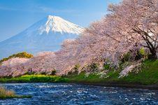 Tahun Ini, Simak Momen Prakiraan Sakura Mekar di Jepang