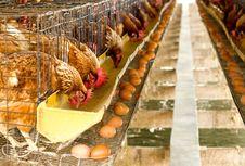 Mana Lebih Dulu Ayam atau Telur, Ilmuwan Australia Temukan Jawabannya
