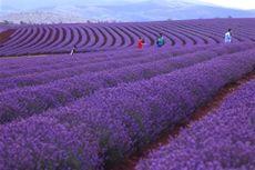 Asyiknya Menikmati Perkebunan hingga Es Krim Lavender di Tasmania