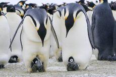 Ini yang Tidak Kita Tahu Soal Kesetiaan Penguin Kaisar Jantan