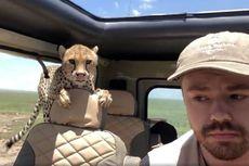 Seekor Cheetah Terekam Saat Melompat Masuk ke Dalam Mobil Safari
