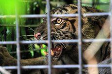 Setelah Dirawat 14 Hari, Harimau Sumatra Inung Rio Akhirnya Mati