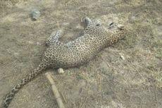 Serang Penduduk Desa, Macan Tutul di India Sekarat Dihajar Warga