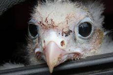 Tak Ingin Ganggu Sarang Burung Elang, Militer Kanada Tunda Pelatihan