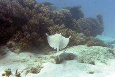 Berenang di Lepas Pantai, Pria Australia Tewas Tertusuk Ekor Ikan Pari