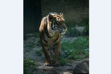 Staf Diserang Harimau Sumatera, Begini Sikap Kebun Binatang di Kansas