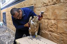 Disangka Mata-mata, Burung Bangkai Ditangkap Tentara Yaman