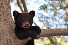 Kisah Penyelamatan Anak Beruang yang Terjebak di Pohon Setinggi 21 Meter