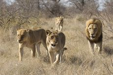 14 Ekor Singa Dilaporkan Lepas dari Taman Nasional di Afrika Selatan