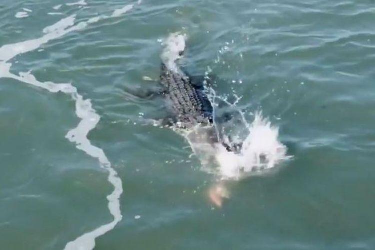 Seekor buaya muara menyerang hiu yang merebut ikan yang hendak dimangsanya.