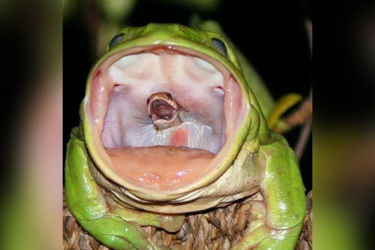 Katak hijau asal Australia tertangkap memangsa ular