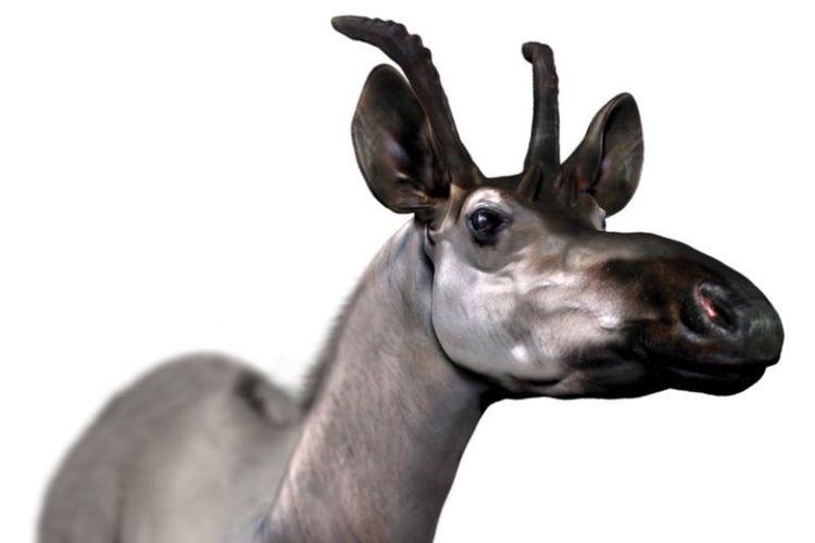 Para ilmuwan di Spanyol menemukan fosil spesies baru dari jerapah, Decennatherium rex, yang memiliki dua set benjolan bertulang di kepalanya.