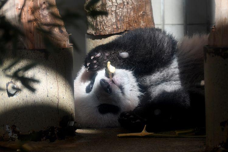 Bayi panda Xiang Xiang bermain di kandangnya di Kebun Binatang Ueno, Tokyo, Jepang, pada Senin (18/12/2017). (AFP/Toshifumi Kitamura)