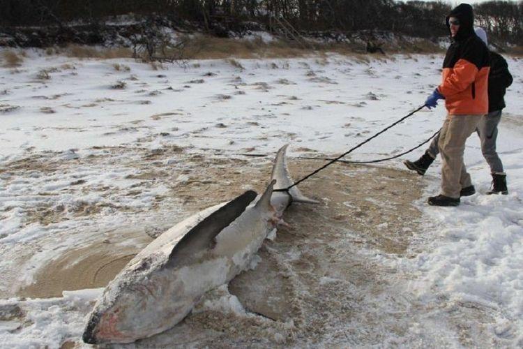 Penemuan keempat kali, hiu membeku di AS