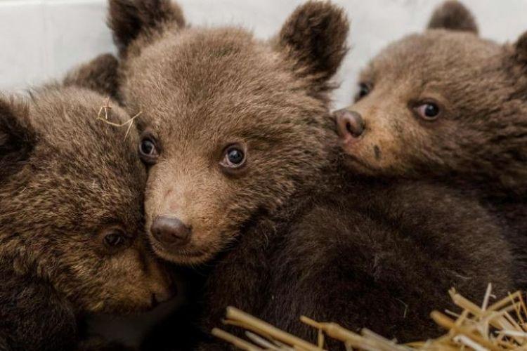 Tiga bayi beruang cokelat ditemukan berkeliaran di alam liar tanpa induk. Dokter hewan mengungkap ketiganya dalam kondisi sehat meski mengalami stres.
