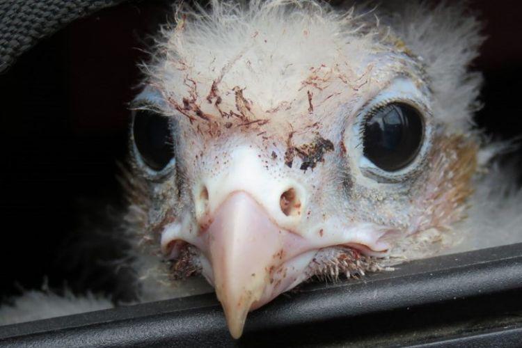 Ilustrasi anak burung elang. (AFP/HO/SAG)