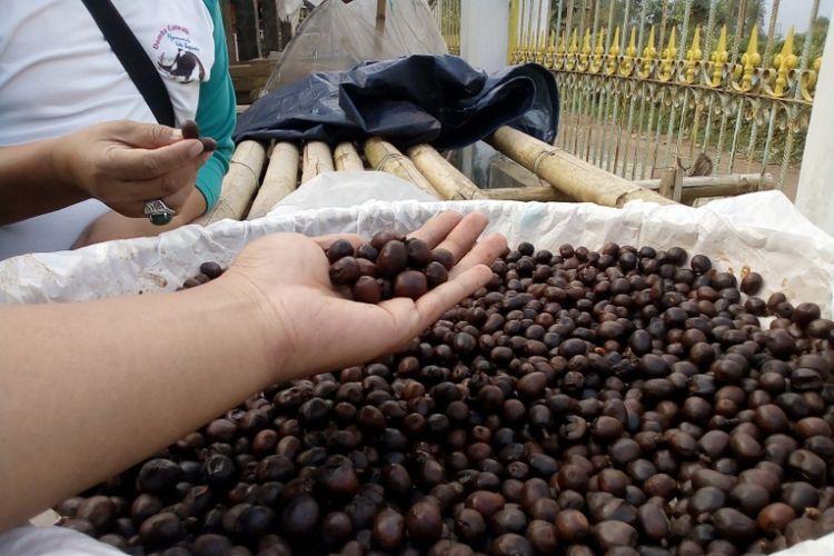Biji kopi arabica hasil fermentasi dijemur