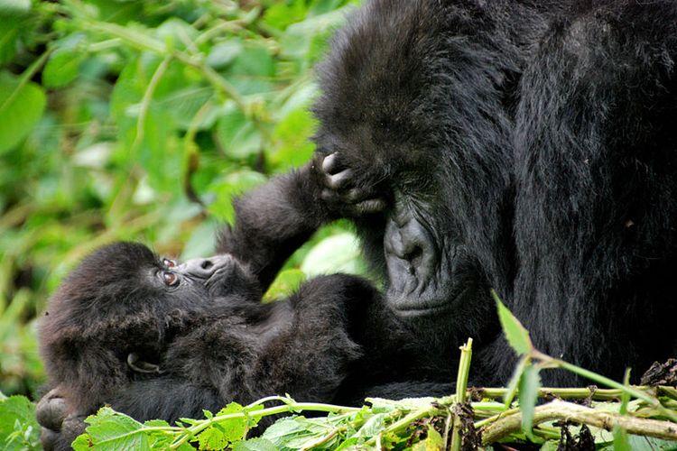Gorila pegunungan (Gorilla beringei beringei)