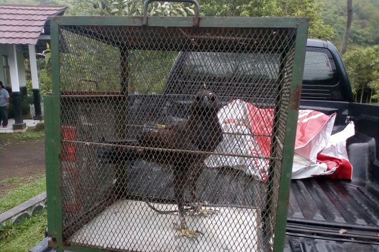 Seekor elang Brontokusuman fase gelap yang diserahkan warga saat dibawa ke Pusat Konservasi Elang Kamojang, Minggu (9/12/2018).