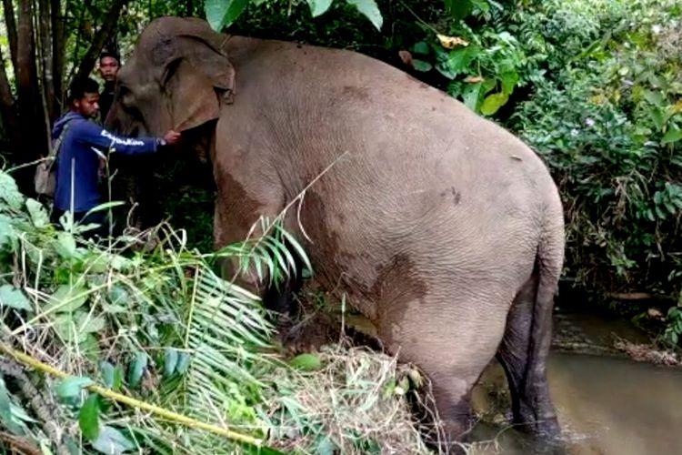 Foto Dokumentasi Tim BKSDA Aceh : Ida gajah jinak berjenis kelamin betina mengalami patah tulang kaki belakang setelah diserang oleh kawanan gajah liar pada saat malam hari di CRU Peusangan, Benermeriah, Rabu (13/02/2019).