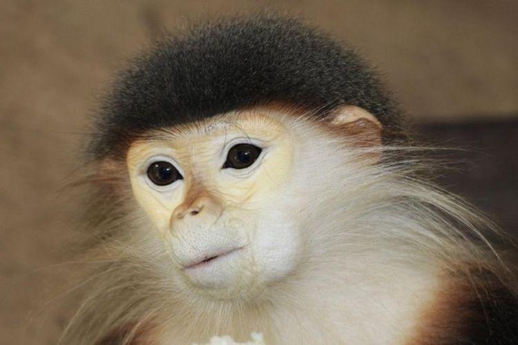 Inilah langur kaki merah. Spesies monyet langka di Vietnam.