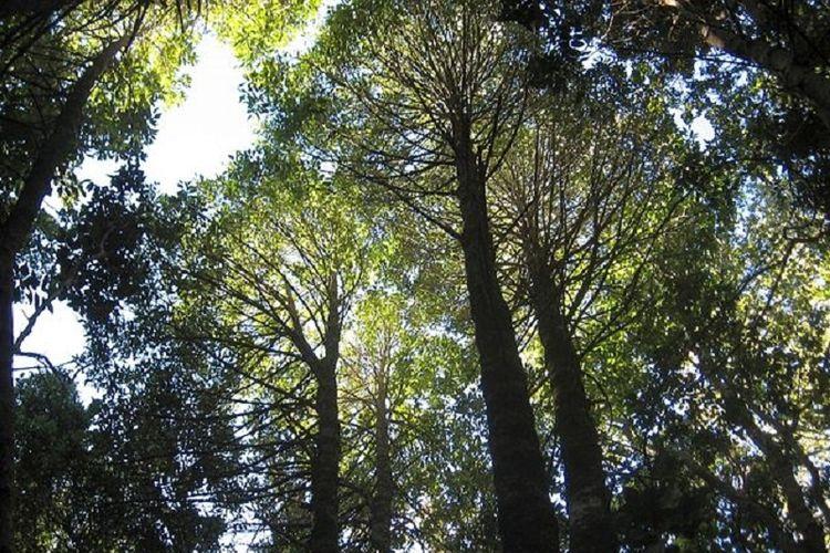 Pohon spesies langka, keule