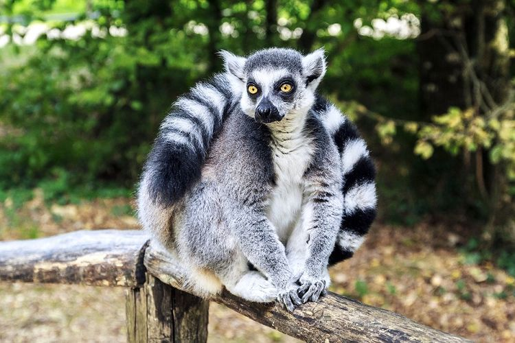 Lemur ekor cincin. (Shutterstock)