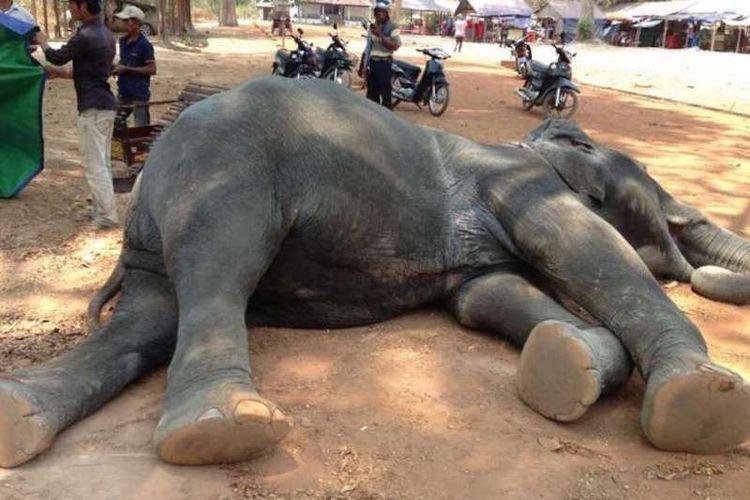 Sambo, si gajah yang mati karena kelelahan angkut turis di Angkor Wat.