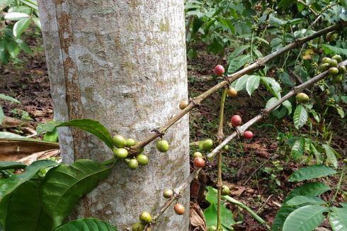Kementan Siapkan 2 Juta Batang Kopi Varietas Super untuk Petani
