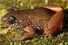 Peneliti Temukan Katak Spesies Baru di Pegunungan Tropis India