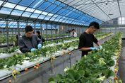 Di Kebun Stroberi Himeji Bisa Memetik dan Makan Stroberi Sepuasnya