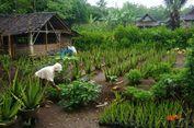 Gunungkidul Kini Punya Desa Wisata Edukasi Lidah Buaya