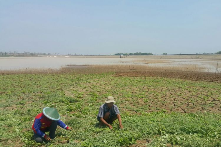 Para petani memanfaatkan lahan untuk menanam palawija menyusul mulai mengeringnya Waduk Dawuhan, Desa Sidomulyo, Kecamatan Wonoasri, Kabupaten Madiun.