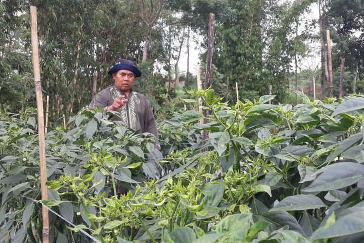 Sejumlah tanaman cabai merah besar mulai mengkerut dan menguning akibat virus gemini di Desa Bocek, Kecamatan Karangploso, Kabupaten Malang, Rabu (15/11/2017)