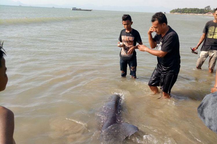 Paus Melon saat terdampar di Pantai Oesapa, Kelurahan Oesapa, Kecamatan Kelapa Lima, Kota Kupang, NTT, Sabtu (12/5/2018)