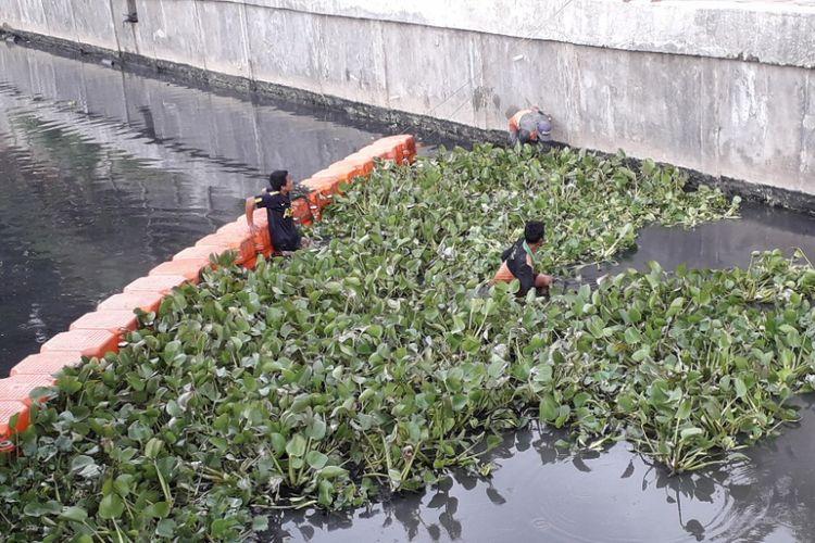 Petugas UPK Badan Air menanam eceng gondok di Kali Inlet 3, Sunter, Jakarta Utara, Senin (3/12/2018).
