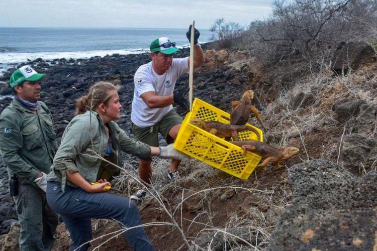 Operation Isabela mengembalikan iguana ke Pulau Santiago