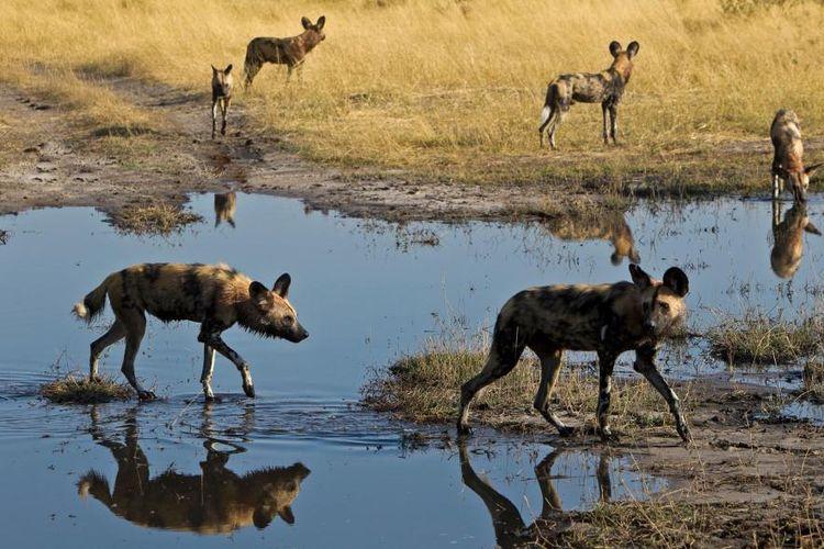 Anjing liar afrika (Lycaon pictus) dengan sengaja bersin untuk memberikan suara mereka dalam diskusi yang menyangkut kelompok.