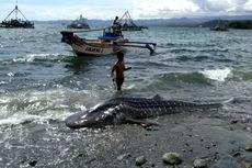 Penyebab Kematian Hiu Paus Terdampar di Laut Sukabumi Belum Diketahui