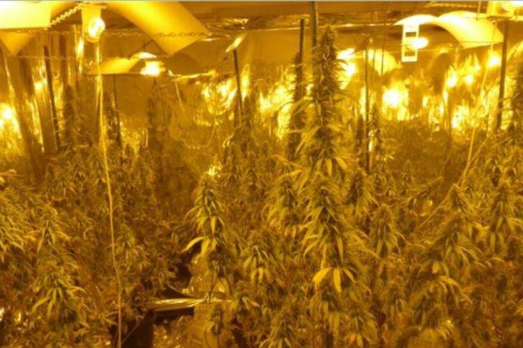 Ladang ganja hidroponik yang ditemukan aparat Kepolisian Tasmania, Australia di rumah milik salah satu warga.
