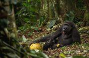Gorila Ini Bisa Berjalan Tegak Seperti Manusia, Apa Sebab?