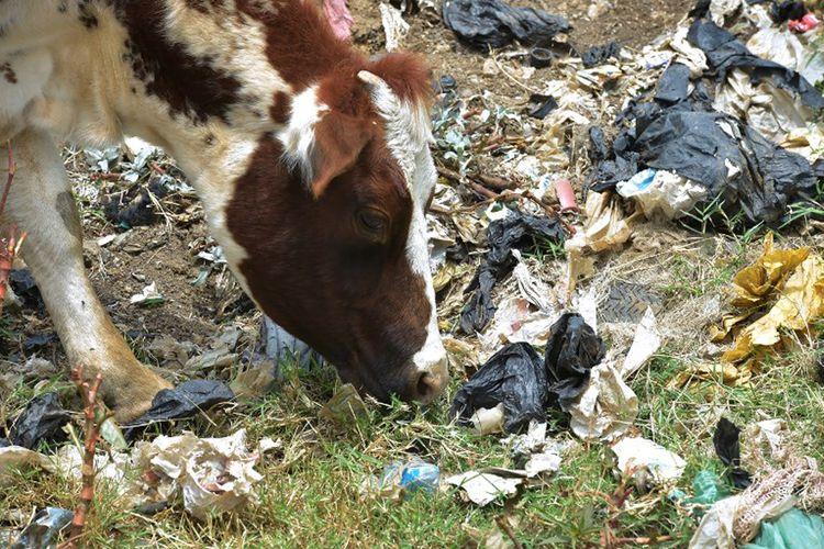 Seekor sapi di samping kantong plastik di lokasi pembuangan Kota Ngong, 30 kilometer barat daya Nairobi, Kenya, pada 24 Agustus 2017.
