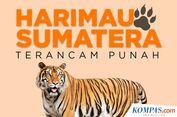 INFOGRAFIK: Harimau Sumatera Terancam Punah